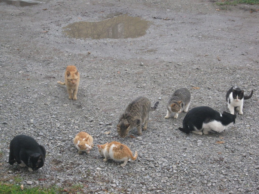 Feral Cats in Taft Oregon
