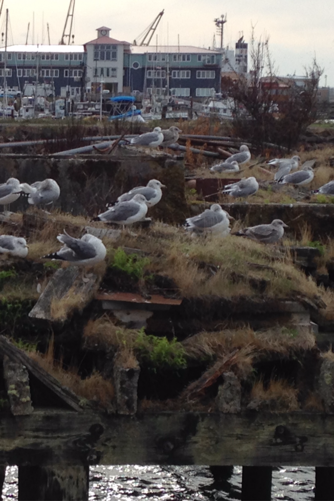 Seagulls in Astoria Oregon Cannery Pier Hotel